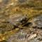 bullfrog-tadpole