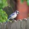 A Texas Blue Jay on windy day