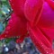 Rose droplets 4