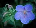 sized_geranium