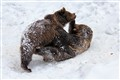 Bears romping in the snow