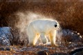 Polar Bear Shaking Off Snow