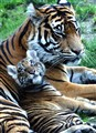 sumatran tiger and her cub