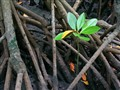 Mangroves, Zanzibar