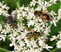 Hover Flies (cropped)