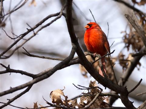 2012-02-21 Central Park Cardinal 3