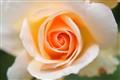 Youthful Rose.