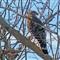 California Red Shouldered Hawk