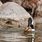 hooded merganser w crayfish_j