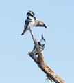 Pied Kingfishers at Chobe NP, Botswana