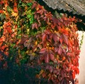 Autumn leaves on the wall