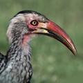 hornbill III