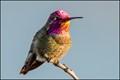 Allen's Hummigbird