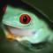 Arrow_Frog[1]