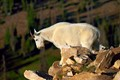 A Mountain goat on the edge