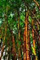 Chinese Bamboo Clump