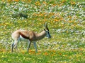 Springbok spring flowers