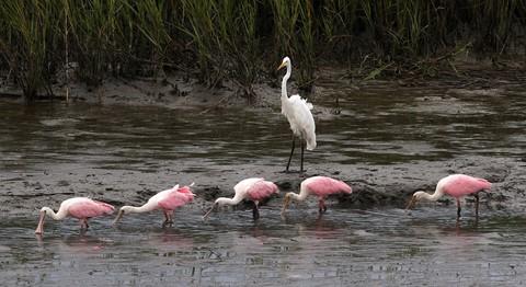 Spoonbills and Egret
