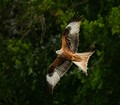 Red Kite in trees