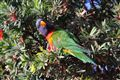 Cheeky Rainbow Lorikeet