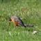 American Robin 3, March 2013