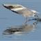 20130115-Black-Headed-Gull-cntlaw-dpreview-01