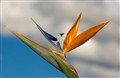 Bird of Paradise in the Sky