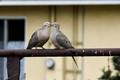 Kissing Dove