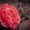 Easter_Rose_Pink