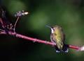 A Humingbird