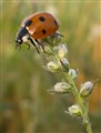 ladybird002