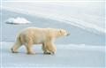 polar_bear_icepack_7