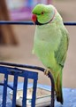 Red Neck Parrot