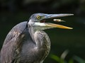 Great blue heron and the little fish