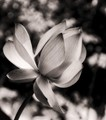 LIlly  BW