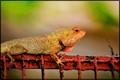 The garden lizard.