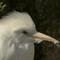 cattle egret2