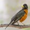 Male American Robin - 1600w