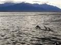 Kaikoura Dusky Dolphins
