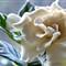Gardenia # 9