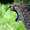 Angry Guepard
