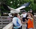 Wood stork BIF with Admirerers