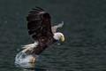 A mature bald eagle snatches a herring from the ocean.