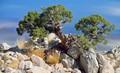 Utah Juniper (Juniperus osteosperma)