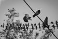 Dove colony
