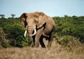 South African elephant