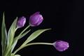 3prpl.tulips+++++