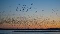 Sandhill Cranes in Nebraska