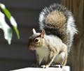 Grey Squirrel Posing Again