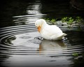 Albino Mallard In The Rain